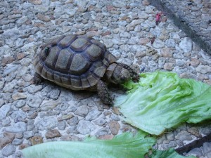 Eleven years during which our pet tortoise George-Alain grew from matchbox-sized to shoe-sized.